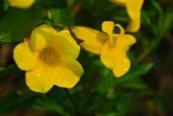 黄蝉图片(13张)