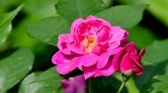 蔷薇花图片(8张)