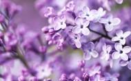 紫色植物图片(20张)