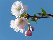 日本樱花图片(16张)