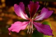 婀娜的紫荆花图片(10张)
