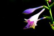 玉簪花图片(7张)