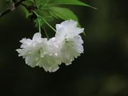 初放盛开的樱花图片(13张)