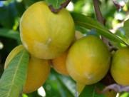 蛋黄果植物果实图片(6张)