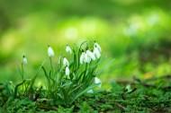 洁白的雪花莲图片(7张)