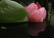 婀娜多姿的荷花图片(11张)
