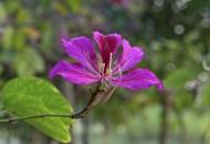 紫荆花图片(8张)