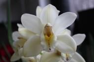 白色的蝴蝶兰图片(15张)