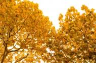 秋天金黄的叶子图片(9张)