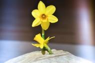 清秀典雅的水仙花图片(11张)