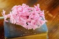书本上的唯美粉色风信子摄影图片(11张)