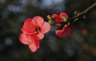 红色海棠花图片(6张)