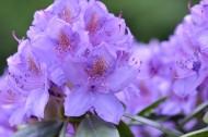 紫色杜鹃花高清图片(14张)