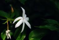 洁白的茉莉花图片(5张)