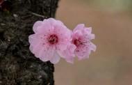 梅花图片(19张)