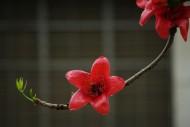 红火木棉花图片(9张)