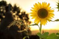 黄色的向日葵图片(14张)