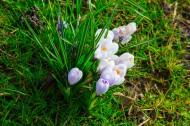 藏红花图片(10张)