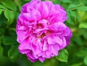 紫色玫瑰花图片(18张)