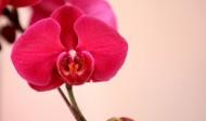各种颜色的蝴蝶兰图片(14张)