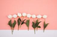 白色的月季花图片(12张)