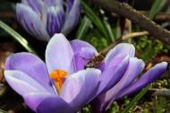 药用花卉番红花图片(14张)