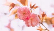 春天粉色的樱花图片(9张)