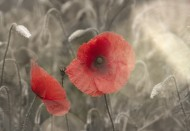 唯美的罂粟花图片(9张)