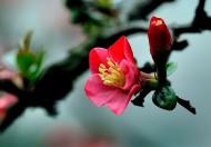 海棠花图片(19张)