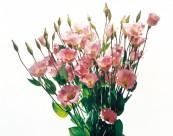 洋桔梗花朵图片(3张)