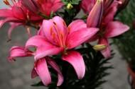 粉色的百合花图片(15张)