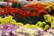 上海松江五厍现代农业园菊花图片(9张)