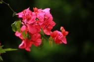 红色三角梅花卉图片(6张)