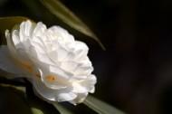 白色山茶花图片(10张)