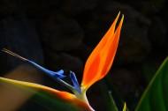 优雅的鹤望兰图片(14张)