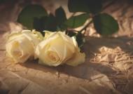 清纯的白玫瑰图片(8张)