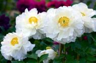 洁白的白牡丹图片(6张)