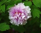 牡丹花图片(16张)