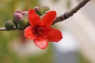 红色木棉花图片(19张)