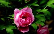 各种颜色的牡丹花图片(10张)