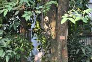 腊肠树-植物图片(6张)