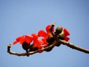孤单的木棉花卉图片(10张)