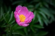 粉嫩芍药花图片(10张)