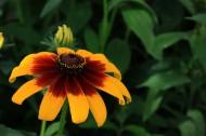 黄色非洲菊图片(6张)