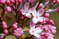 粉色丁香花图片(5张)