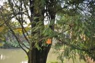 落羽杉植物图片(5张)