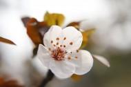 唯美好看的白色樱花图片(9张)