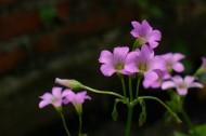 红花酢浆草图片(8张)