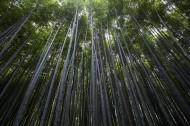 挺拔的竹子图片(10张)