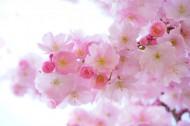 淡雅清新的樱花图片(12张)